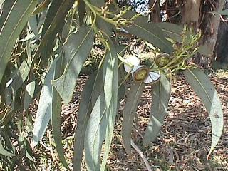 Eucalyptus smithii (Eucalyptus smithii), 10 ml